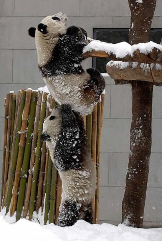panda-teamwork