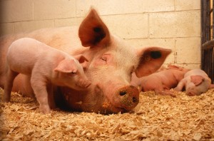 Domestic_pigs